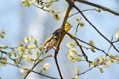 picture of citronella  - Yellowhammer  - JPG