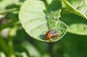 Ten-lined Potato Beetle Eats Potatoes
