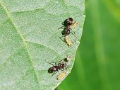 foto of aphid  - two ants tending few aphids on leaf of walnut tree close up