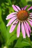Green Fly On Pink Flower