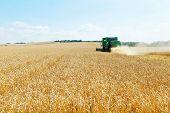 Gathering Ripe Wheat In Caucasus Region