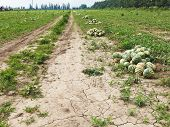 Melon Field With Heaps Of Ripe Watermelons