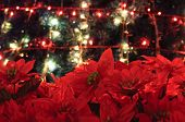 Red Flowers With Christmas Tree