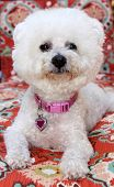 A pure breed Bichon Frise dog smiles as she sits for her portrait. Bichon Frise Dogs were bred for R