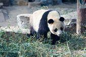 China, Beijing Zoo Panda