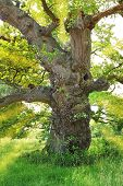 Very Old Gnarled Oak Tree, Back Lighted