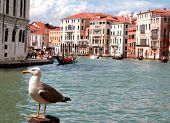 Great Black-headed Gull And The Grand Canal In Venice