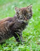 Gray Kitten Against A Green Grass