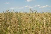 Fields Grow Wheat