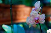 Veined Orchids In Bloom