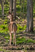 White-tailed Deer (odocoileus Virginianus) Stands With Back To Viewer