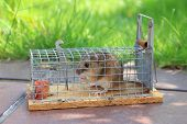 Mouse Live Trap With Captured Mouse, Outdoors