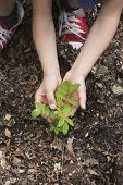 stock photo of locust  - closeup of hands planting black locust tree seedling - JPG