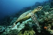 Raja Ampat, Indonesia, Pacific Ocean, hawksbill turtle (eretmochelys imbricata) cruising above coral reef