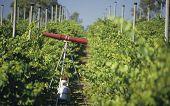 Gas gun in vineyard for deterring birds