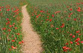 Footpath Through Wheat Field With Red Poppies, Daylight