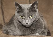 Mad looking Russian blue cat on resting on a brown couch