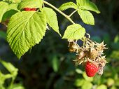 Ripe Fruit Of Red Raspberry On Green Bush