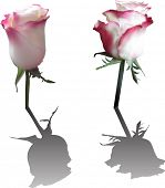 illustration with two pink rose flowers isolated on white background