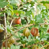 Ripe Gooseberry Berries On Green Bush