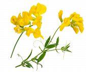 Medicinal plant: Lathyrus pratansis