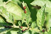 stock photo of potato bug  - potato bug larva in potatoes leaves in garden - JPG