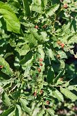 foto of larva  - lot of colorado potato beetle larva on potato bushes in garden