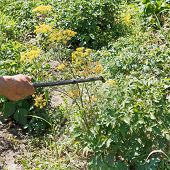 foto of potato bug  - processing of pesticide on potato plantation in garden in summer - JPG