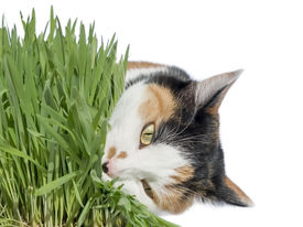 picture of laxatives  - Female cat eating grass - JPG