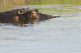 image of wallow  - Hippopotamus Wallowing in River - JPG
