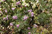 Pink Flowers On Manzanita Plant Mount Diablo