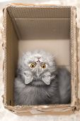 Persian cat in the box