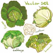 Vector Set With Cabbage, Cauliflower, Cole, Broccoli, And Savoy