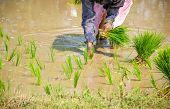 Planting Rice Paddies