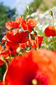 Spring In Garden - Flowers - Red Poppy