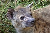 picture of spotted dog  - Portrait of a spotted hyena Crocuta crocuta - JPG