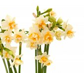 Double Mini-narcissi Isolated