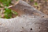 Bark Beetle Patterns On A Dead Eucalyptus