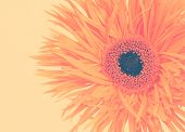 gerbera daisy on a beige background toned with a retro vintage instagram filter effect
