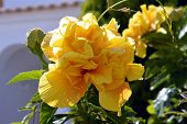 Hibiscus rosa-sinensis triple yellow form