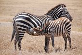 Nursing Zebra and Mother