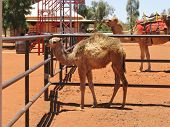 image of camel  - Riding camels in a paddock in the outback near Ayers rock in Australia with a young camel in front - JPG