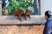 Young Nepalese Man Teasing Monkeys