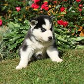 Amazing Puppy Of Siberian Husky Sitting In The Garden