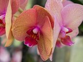Yellow and reddish colored orchid