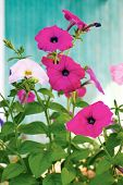 Pink Petunia Flowers On A Background Of Turquoise Wall