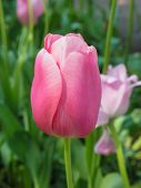 Close-up of a single pink tulip
