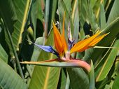 pic of bird paradise  - An orange flowering strelitzia plant also called bird of paradise - JPG