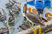 PISCO, PERU, MAY 21, 2014: Pelicans in the picturesque fishermen's wharf of San Andres.