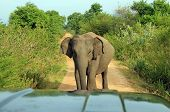 Elephant Blocking the Road